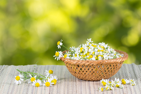 assembled: assembled  chamomile flowers in  in wicker basket on a background of green leaves at sunny day