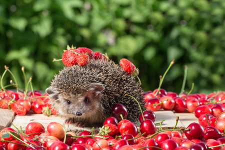 pretty young hedgehog, Atelerix albiventris,among the berry on green leaves background Stock Photo