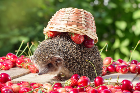 spiked hair: cute young hedgehog, Atelerix albiventris,among berries on a background of green leaves, carries an inverted basket on the back Stock Photo