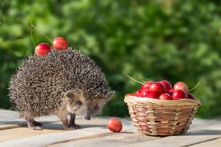 spiked hair: cute young hedgehog, Atelerix albiventris, stands near the wicker basket with sweet cherry on a background of green leaves. berries cherries on the spines of a hedgehog Stock Photo