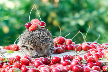 spiked hair: curious hedgehog, Atelerix albiventris,among the berry on green leaves background Stock Photo