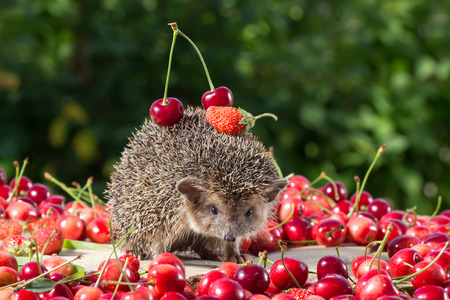 spiked hair: cute young hedgehog, Atelerix albiventris,among the berry on green leaves background, carries cherry and strawberry on the back Stock Photo