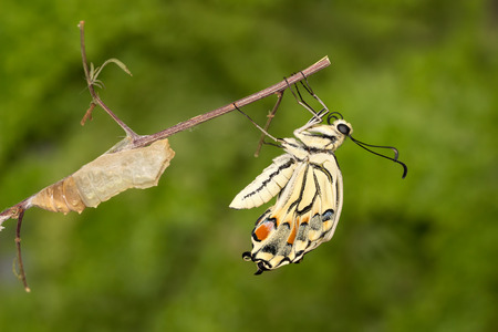 Closeup amazing moment about butterfly (Papilio machaon)  emerging from chrysalis on twig on green background Stock Photo
