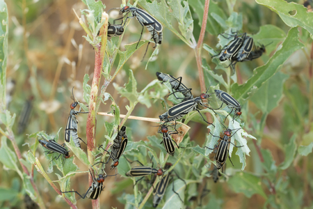 invasive: Invasive destructive beetles (epicauta erythrocephala) eating and destroying leaves. A garden pest.