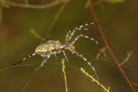 araneidae: Closeup Spider-patisson (argiope lobata) spinning a web among the grass