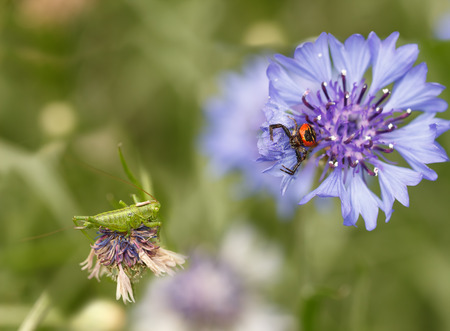 spider Synema globosum and grasshopper sitting on purple cornflowers