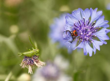 fight hunger: spider Synema globosum and grasshopper sitting on purple cornflowers