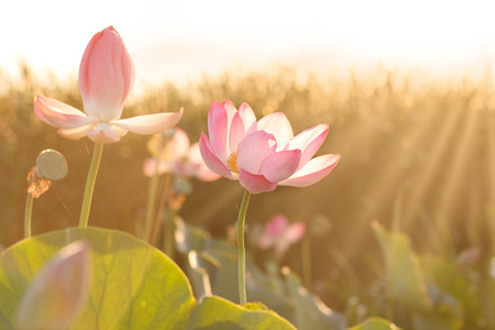 Towards the sun. Flowers of lotus ((Nelumbo nucifera) blossom in Volga delta. Astrakhan region, Caspian sea, Russia