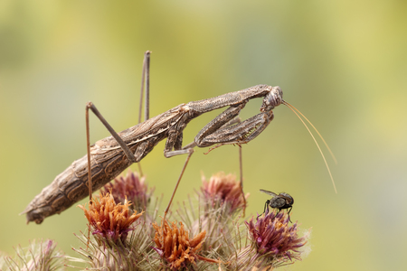 mantid: Closeup Rivetina nana (Mantodea) hunting a fly on top prickly plant on yellow-green background Stock Photo