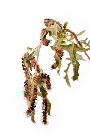 Caterpillar illustration. Closeup a lot of caterpillars (orgia dubia) chews the leaves of the plant.  Isolated on white. Vertical composition.