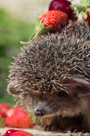 closeup pretty young hedgehog, Erinaceus europaeus, with cherry and strawberry on thorns. Vertical composition. Selective focus