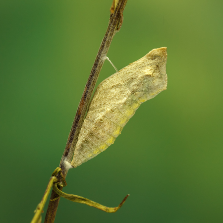 Closeup cocoon of butterfly (Papilio machaon)  on twig on green background.