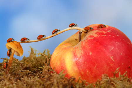 closeup many little ladybugs moves on a branch from mushroom on Apple on sky background . Animal humor. the concept of movement or migration