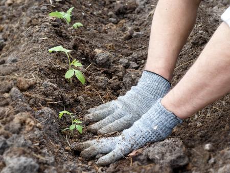 Tomaten pflanzen Man's Hände in Lappen Handschuhe pflanzen Pflanzen in einem Bett. Standard-Bild
