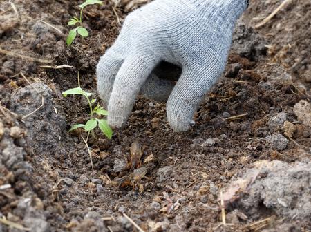 eine behandschuhte Hand fängt die Maulwürfel im Garten beim Anpflanzen von Tomaten Standard-Bild