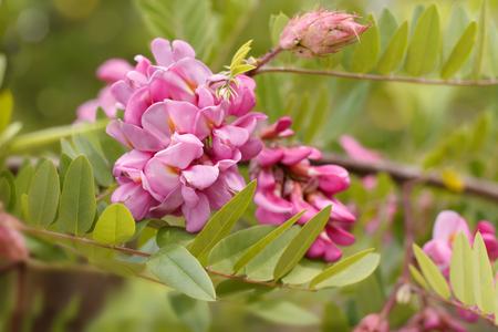 Nahaufnahmeblumen der blühenden rosa Akazie (bekannt als Robinia Viscosa). Horizontale Komposition. Standard-Bild