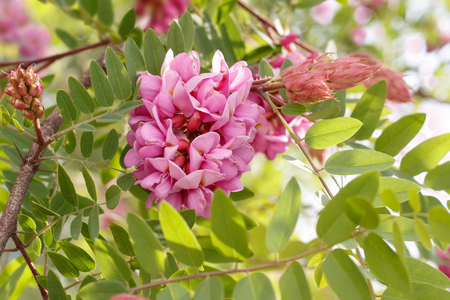 Closeup blühende rosa Akazie (bekannt als Robinia Viscosa). Horizontale Zusammensetzung.