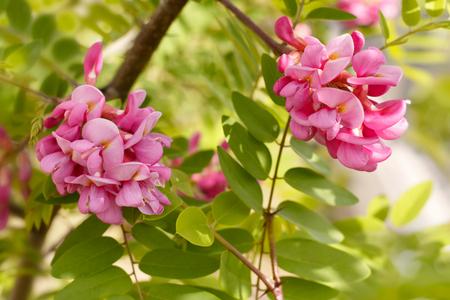 closeup flowers of blossoming pink acacia (known as Robinia Viscosa)