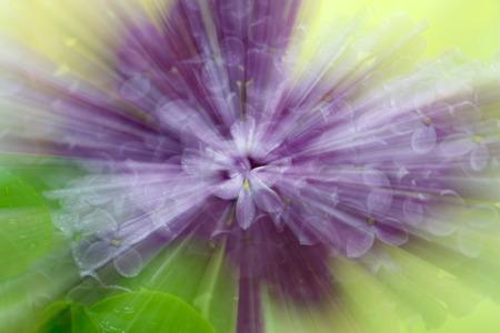 Abstrakte Stern-Unschärfe mit Zoom-Effekt von lila Blumen für Themen von Einzigartigkeit, Meditation, Individualität oder Geisteszustand