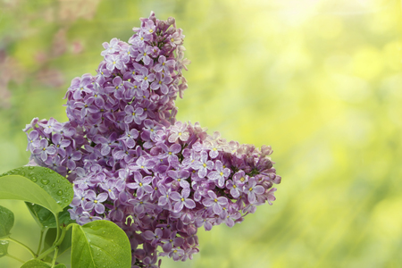 Branch of lilac flowers with the leaves and raindrops in sunlight, natural seasonal spring background Standard-Bild