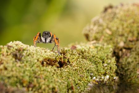 Closeup Springende Spinne, bekannt als Philaey chrysops, auf Moosgrün in der Nähe von Wasser