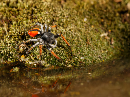Closeup Jumping spider, known as Philaeus chrysops, stand over water on moss green. Selective focus