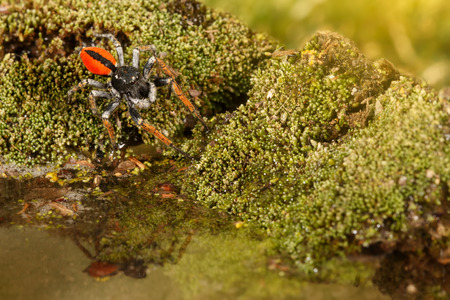 Closeup Jumping spider, known as Philaeus chrysops, running over water on moss green. Selective focus