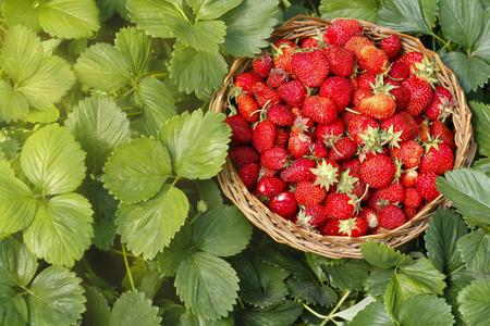 Erdbeere in einem hölzernen Korb im Garten auf grünen Blättern Hintergrund. Ernte. Standard-Bild
