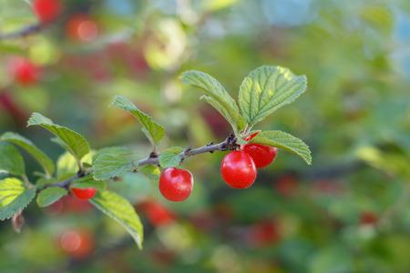 Closeup der Zweig Nanking Kirsche (Prunus tomentosa) mit roten Früchten. Kleine DOF fokussiere nur auf Beeren