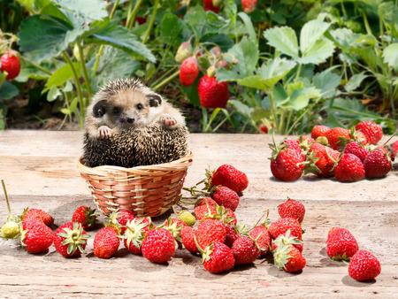 Der junge Igel setzte sich in einen Korb neben den Erdbeeren im Garten