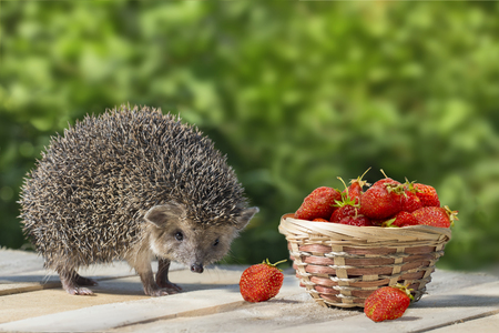 Cute young hedgehog, Atelerix albiventris, stands near the wicker basket with strawberry on a background of green leaves.  concept of harvest