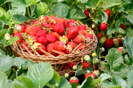Full wicker basket with strawberry in the garden. Bushes  strawberry around. Harvesting