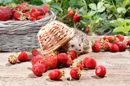 a curious hedgehog turned over the basket of strawberries on a wooden walkway. On background full basket and bushes of strawberries