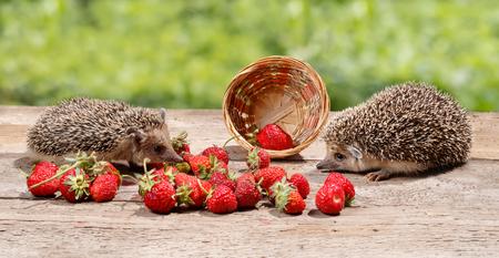 Zwei junge Igel (Atelerix albiventris) in der Nähe des umgestürzten Korbes von Erdbeeren schaut sich an