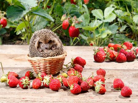 Der junge Igel (Atelerix albiventris) kletterte neben den Erdbeeren im Garten in den Korb