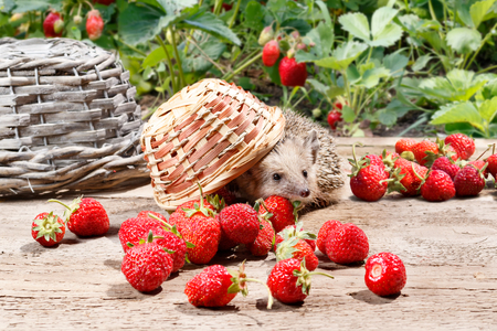 a curious hedgehog turned over the basket of strawberries on a wooden walkway near the beds Standard-Bild
