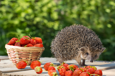 Cute young hedgehog, Atelerix albiventris, stands near the wicker basket with strawberry on a wooden plank with pile of strawberries on background of green leaves.  concept of harvest
