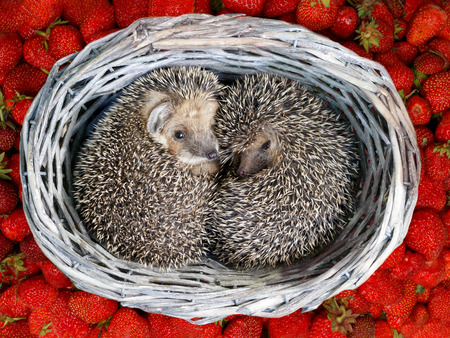 two cute  young hedgehogs, (Atelerix albiventris) curled up inside the wicker from vine baskets on the pile of strawberries Standard-Bild