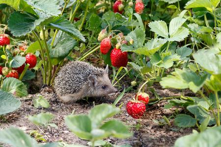 Neugieriger junger Igel, Atelerix albiventris, in den Büschen der Erdbeeren im Garten unter roten Beeren Standard-Bild