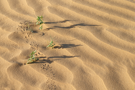 Plants (Xanthium spinosum), long shadows and traces on sand dunes at summer evening