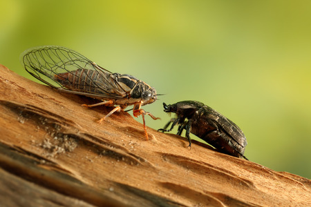 Cicada Euryphara and Rose chafer (cetonia aurata) on a twig looks at each other on a background of green foliage.