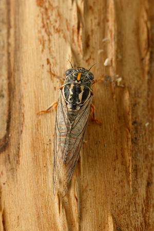 Nahaufnahmezikade Euryphara, bekannt als europäische Zikade, kriecht auf die Baumrinde. Draufsicht. Vertikale Zusammensetzung Standard-Bild