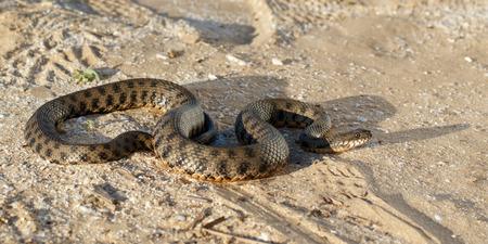 Schlange, bekannt als Natrix tessellata, kriechen auf Sand in der Steppe in der Nähe von Wolga in den Strahlen der untergehenden Sonne
