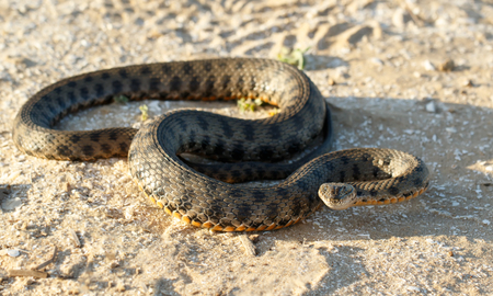 Portrait of a snake, known as Natrix tessellata,  looking at camera on sand in the steppe  near volga river Stock Photo