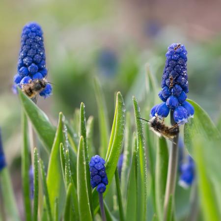 Nahaufnahme Ameisen und Bienen auf den ersten lila Frühlingsblumen Muscari (Traubenhyazinthe, Muscari neglectum) mit Regentropfen. kleiner DOF-Fokus