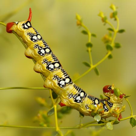 hyles: Closeup caterpillar of Spurge hawk-moth (Hyles euphorbiae) eats the plant Euphorbia stepposa. Selective Focus. Square composition