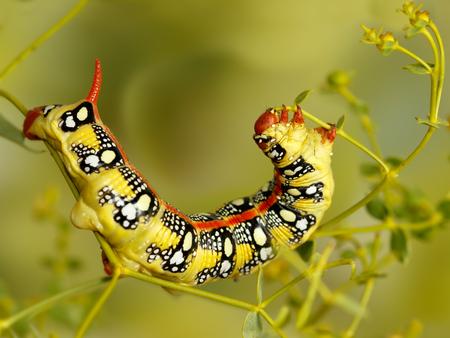 Nahaufnahme der Raupe von Wolfsmilch (Hyles Euphorbiae) isst die Pflanze Euphorbia-Stepposa. Caterpillar hat Warnfarbe