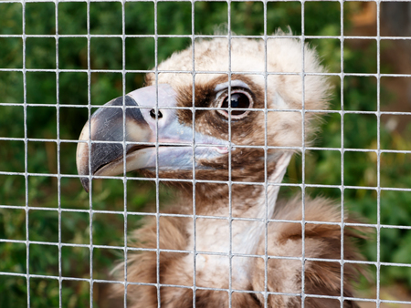 the young vulture (Gyps fulvus) in a cage at the zoo. Concept of cruel treatment Stock Photo