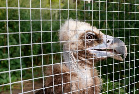 der junge Geier (Gyps fulvus) in einem Käfig im Zoo. Konzept der grausamen Behandlung Standard-Bild