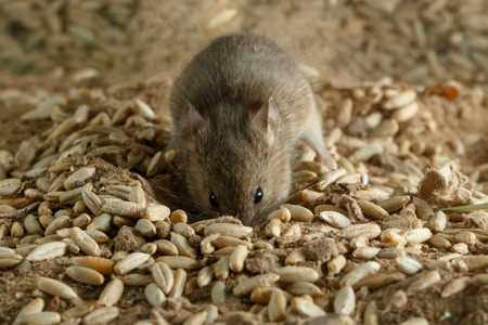 breadbasket: Closeup small  vole mouse digs a fossa on the field and looks at camera. Concept of fighting with rodents.